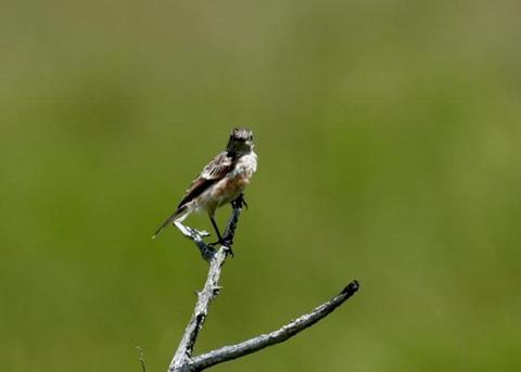 ノビタキ幼鳥5216