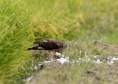 オオタカ若鳥3087