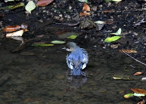 コルリ♂幼鳥7303