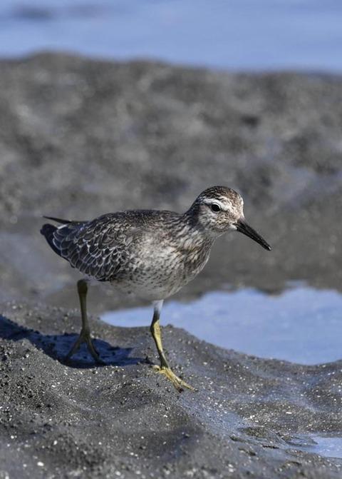 コオバシギ幼鳥0238