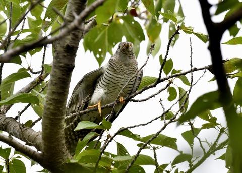 ツツドリ幼鳥5548