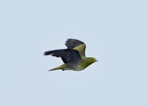 飛ぶ・アオバト♀3894-02