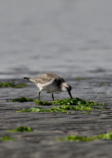 コオバシギ幼鳥4281