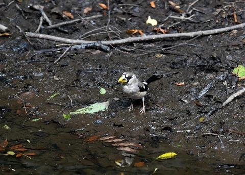 イカル幼鳥9514