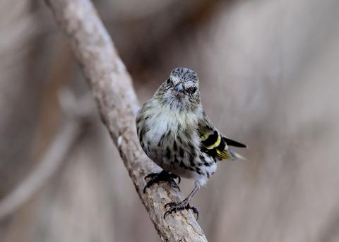 マヒワ若鳥3290