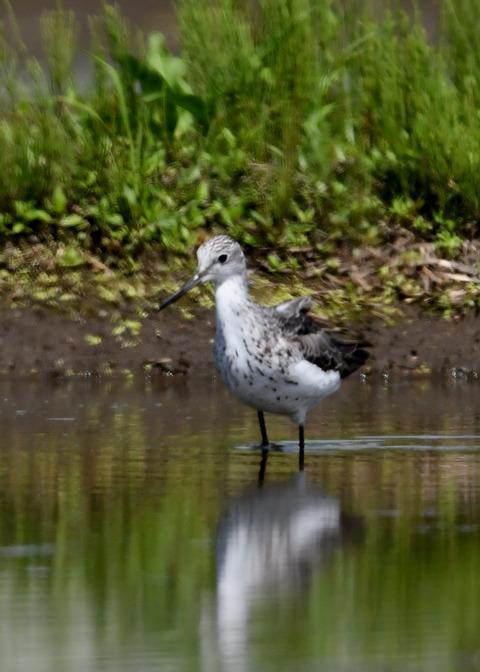 アオアシシギ幼鳥2768