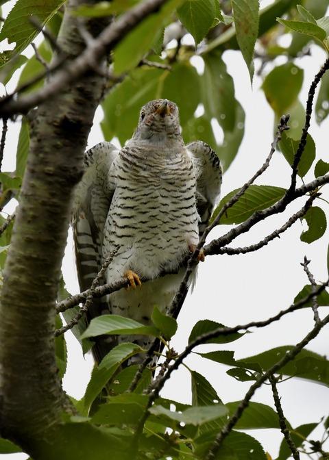 ツツドリ幼鳥5574