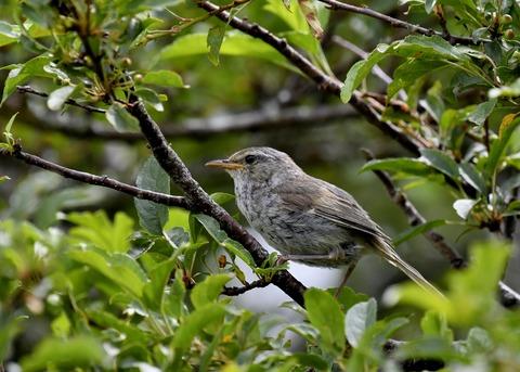 ウグイス幼鳥2715 - コピー
