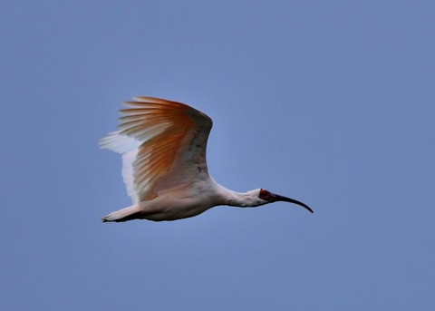 飛ぶ・トキ4402