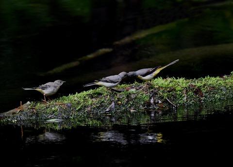 キセキレイ幼鳥8200