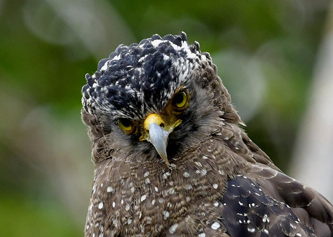 カンムリワシ成鳥5934