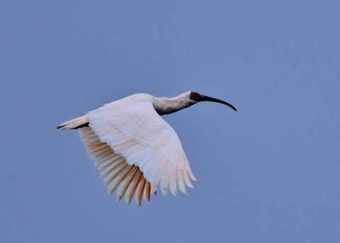 飛ぶ・トキ4401