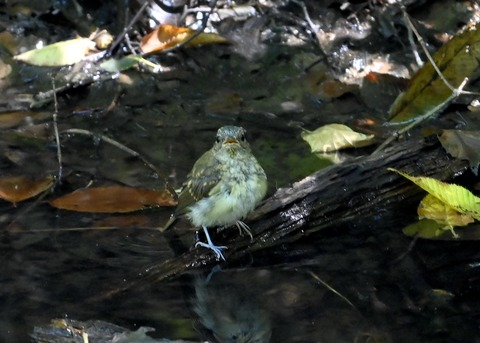 キビタキ幼鳥3461