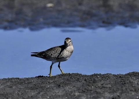 コオバシギ幼鳥0200