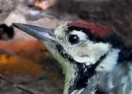 アカゲラ♂幼鳥3712