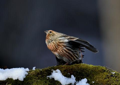 オオマシコ若鳥9565