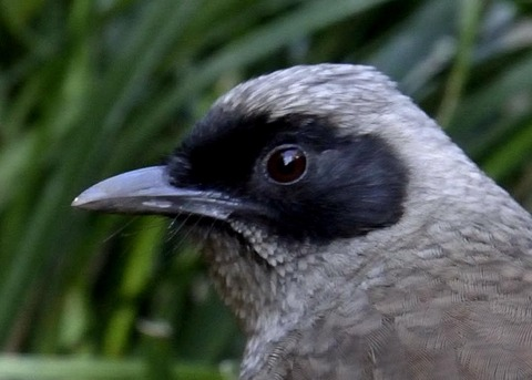 カオグロガビチョウ3012-04
