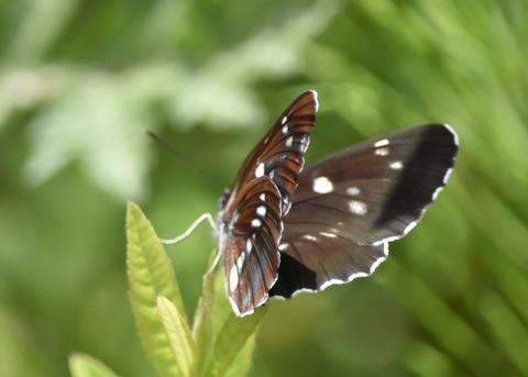 フタスジチョウ黒化型1081