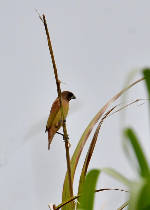 キンパラ幼鳥1578