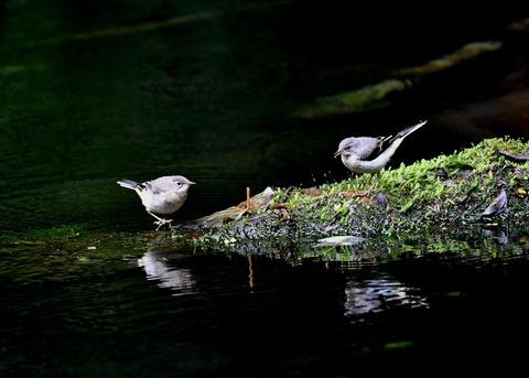 キセキレイ幼鳥8196