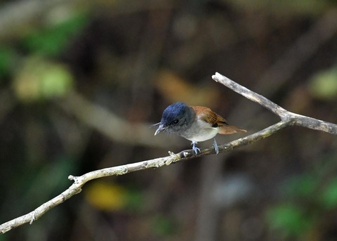 サンコウチョウ幼鳥5596