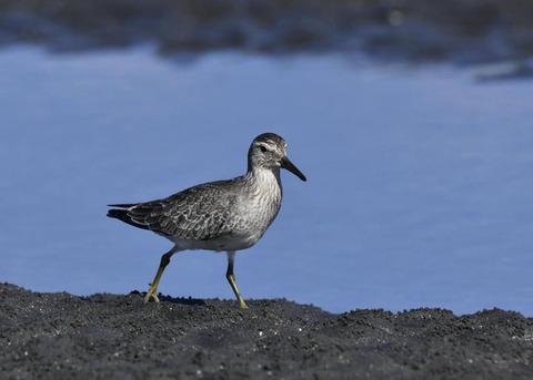 コオバシギ幼鳥0207