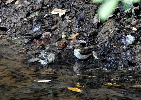 キビタキ幼鳥7569