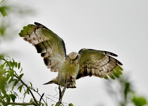 カンムリワシ若鳥6547