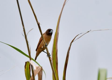 キンパラ幼鳥1594