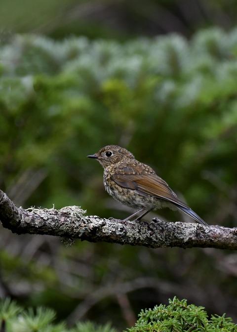 ルリビタキ幼鳥0466