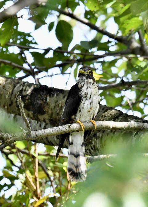 ジュウイチ幼鳥2903