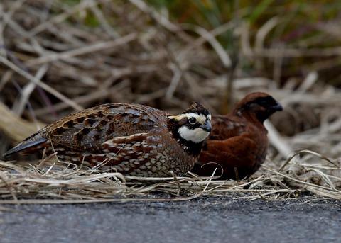 コリンウズラ♂&若鳥5302
