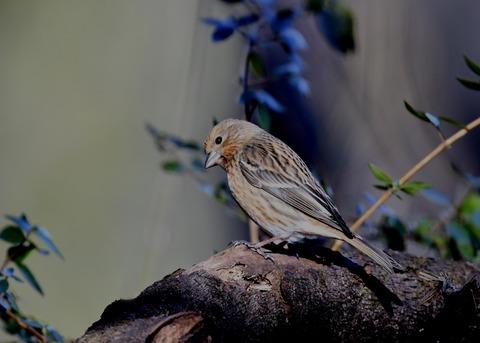 オオマシコ若鳥8876