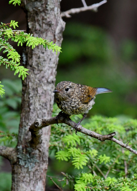 ルリビタキ幼鳥3050