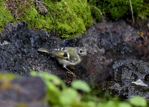 キクイタダキ幼鳥2836