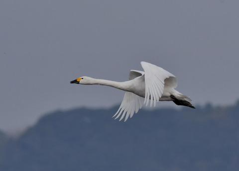 飛ぶ・コハクチョウ0558