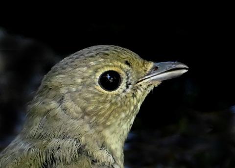 キビタキ♀幼鳥1001(1381)