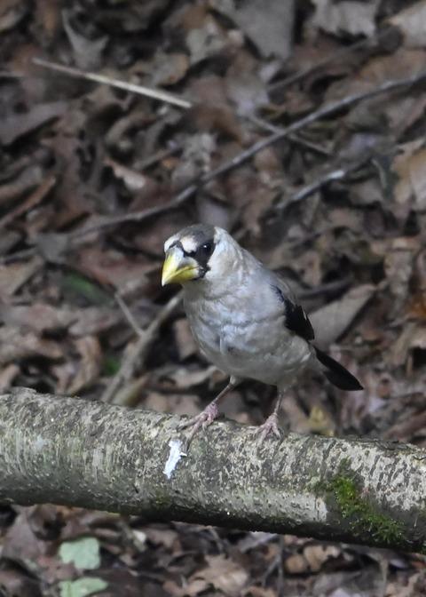 イカル幼鳥1211