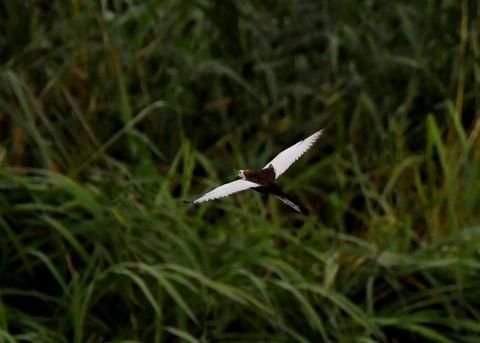 飛ぶレンカク2583