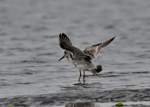 飛ぶ・オバシギ幼鳥4576