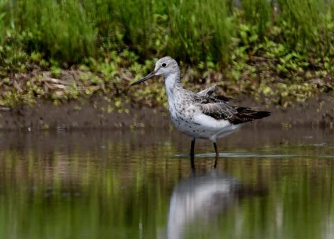 アオアシシギ幼鳥2766