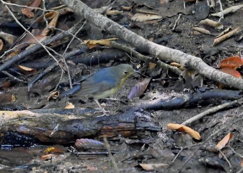 コルリ♂幼鳥2640