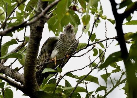 ツツドリ幼鳥5551