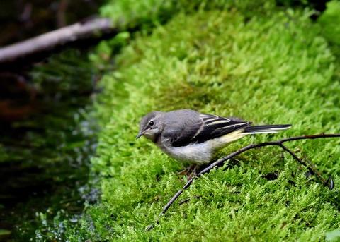 キセキレイ幼鳥8182