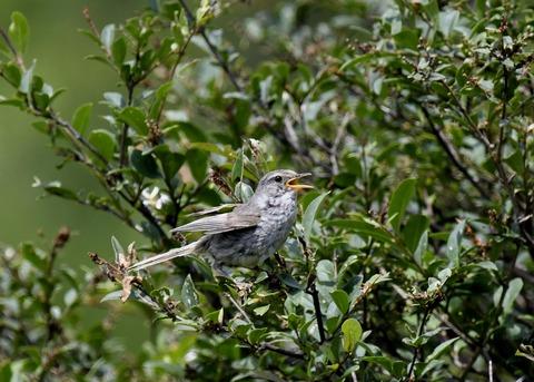 ウグイス幼鳥2490