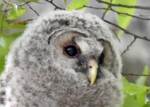 フクロウのヒナ①7583