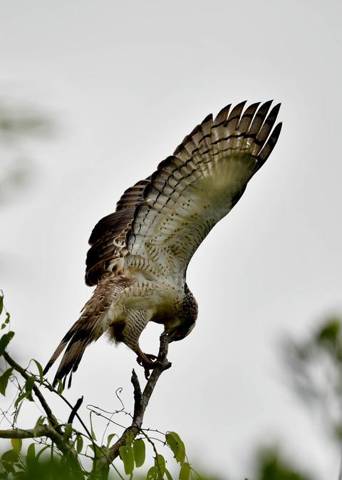 カンムリワシ若鳥6542