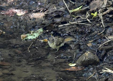キビタキ幼鳥7509