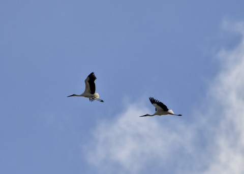 飛ぶ・コウノトリ(きずな&きらら)7599