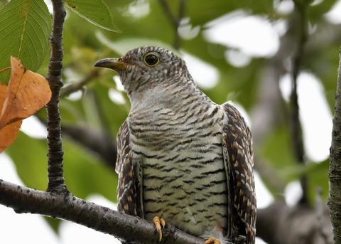ツツドリ幼鳥5213